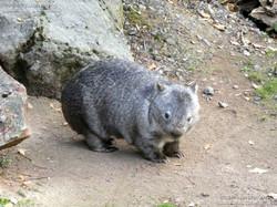 Nacktnasenwombat  (5)