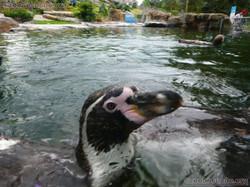 Humboldt-Pinguin  (4)