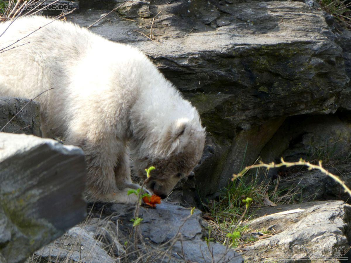 Eisbär  (96)