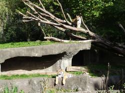 Tiger  (17)