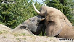 Afrikanische Elefanten  (9)