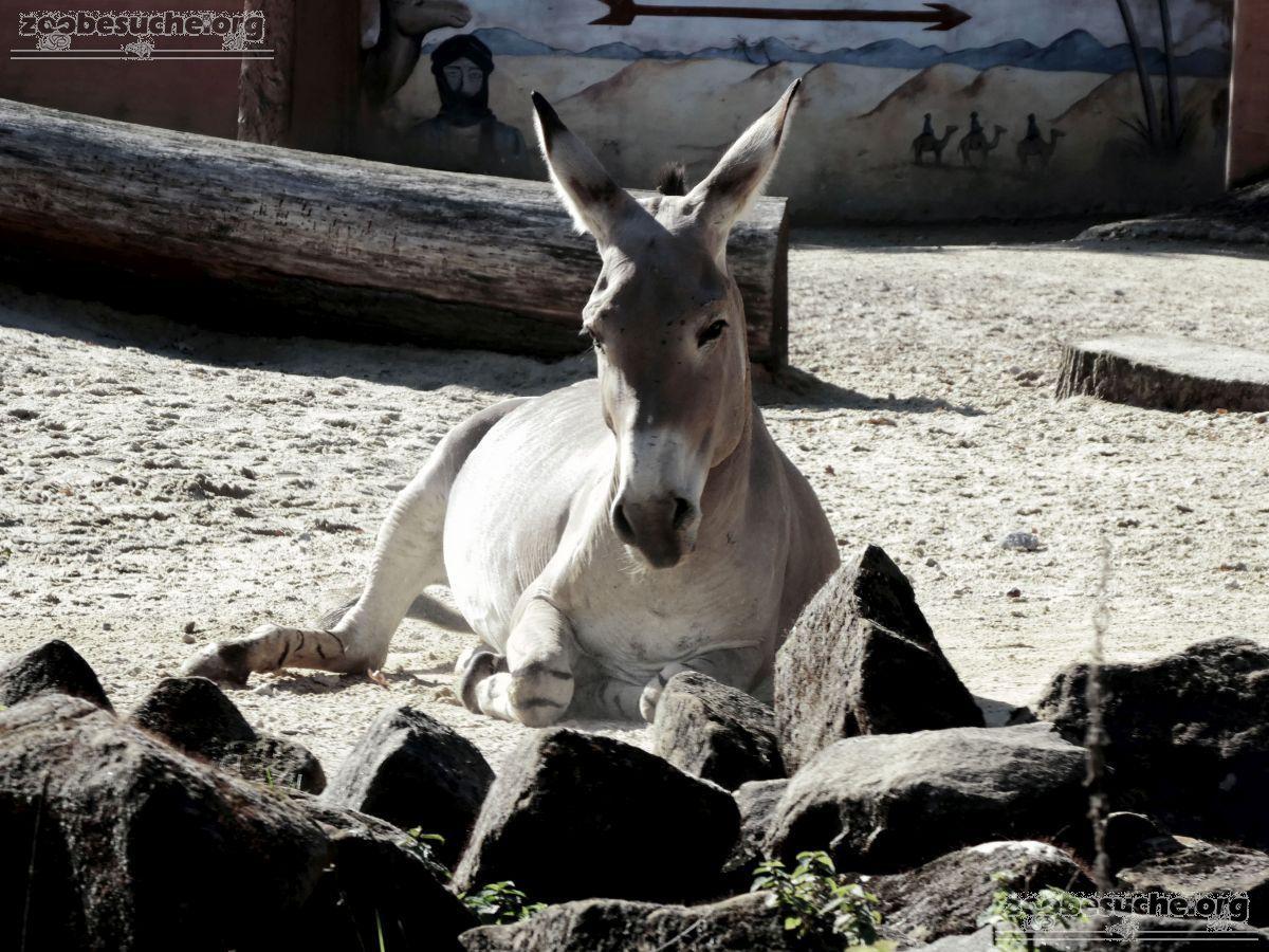 Somali Wildesel  (7)