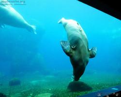 Pazifisches Walross  (5)