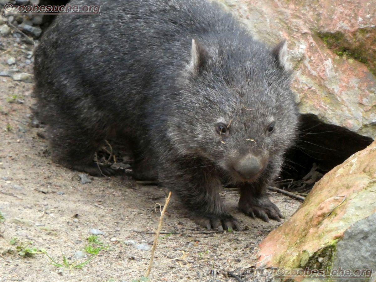 Wombat Maja  (8)
