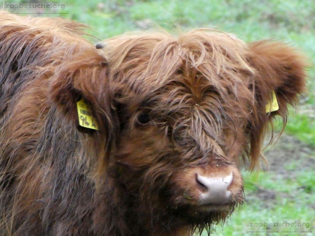 Highland Rind  (5)