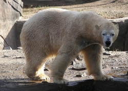 Eisbär  (15)