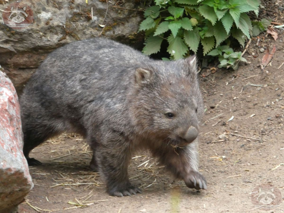 Wombat Kelly  (3)