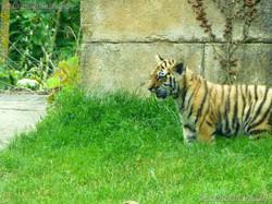 Tiger Jungtiere  (15)