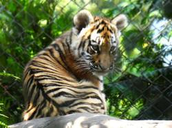 Tiger  (34)