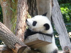 Panda Jungtier  (22)