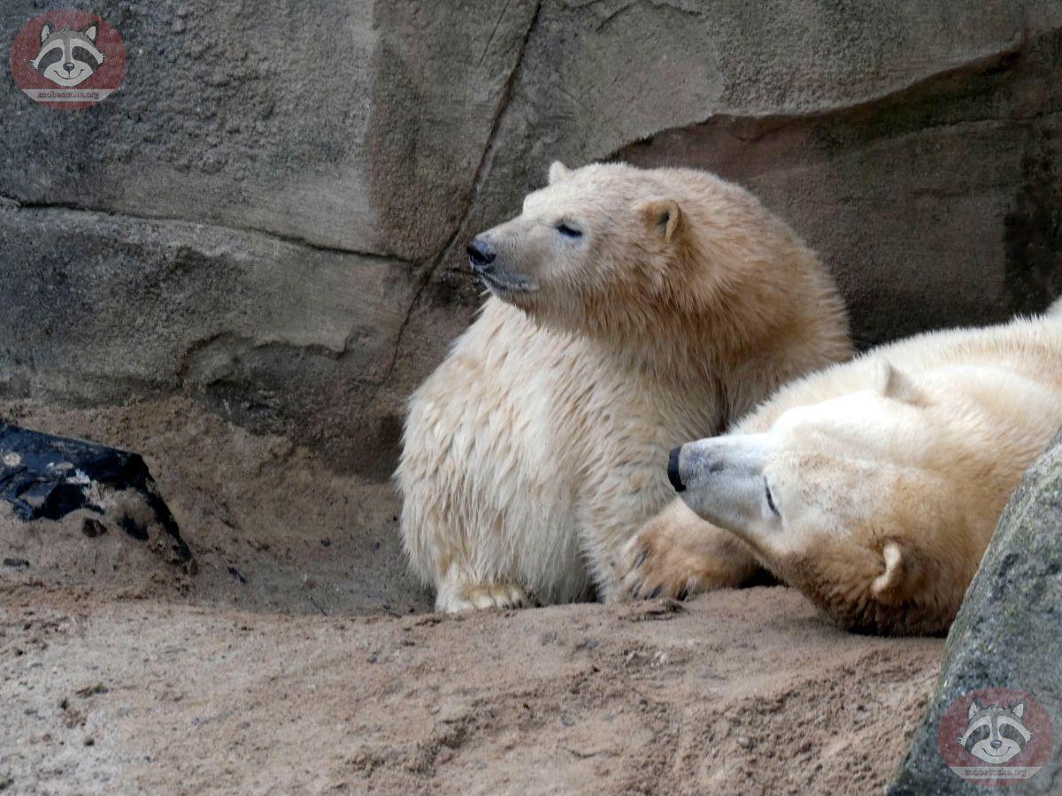 Eisbären_Milana_und_Nana_(4)