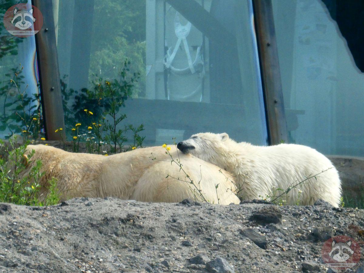 Eisbären_Nana_und_Milana_(4)