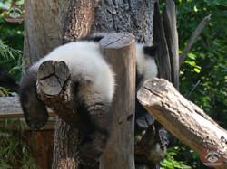 Panda Jungtier  (11)