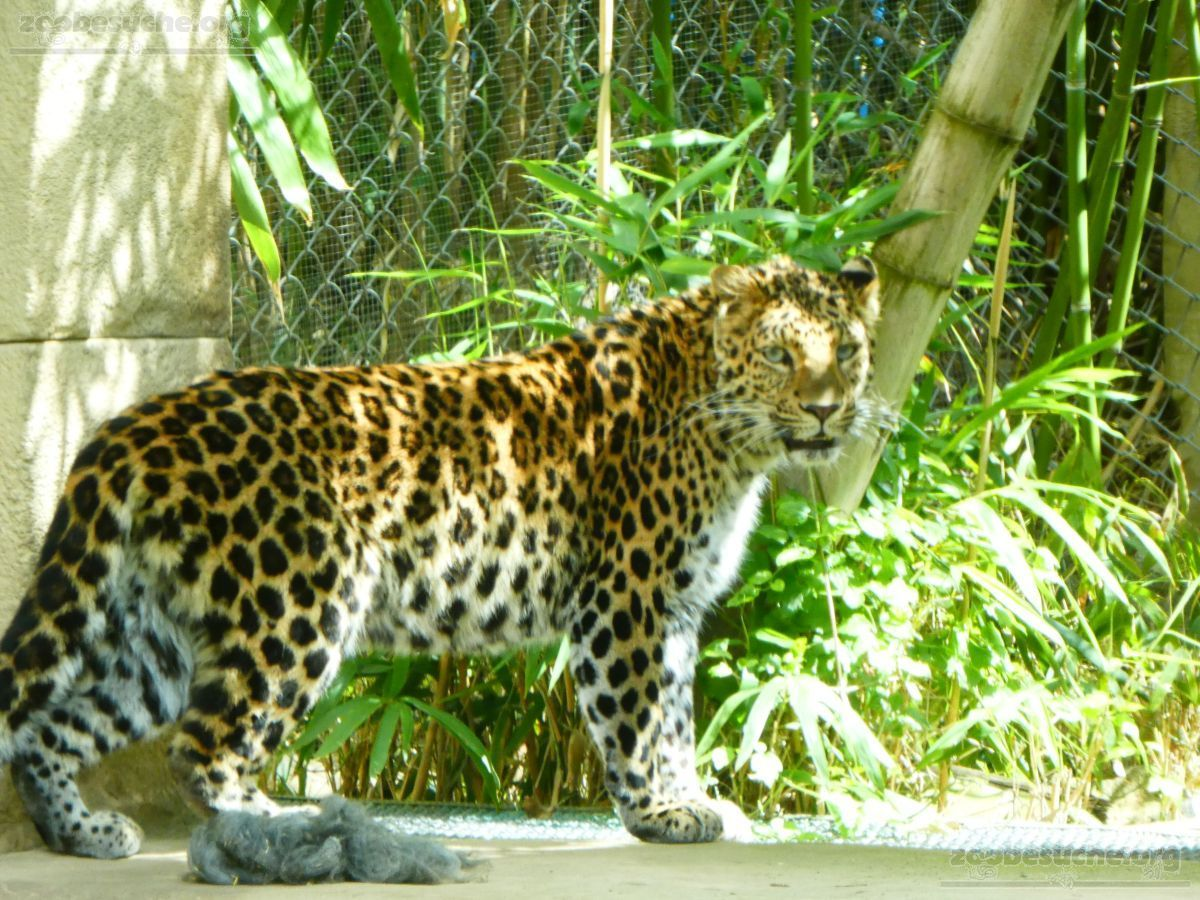 Leopard Cleo  (1)