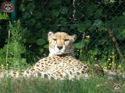 Geparden (1)