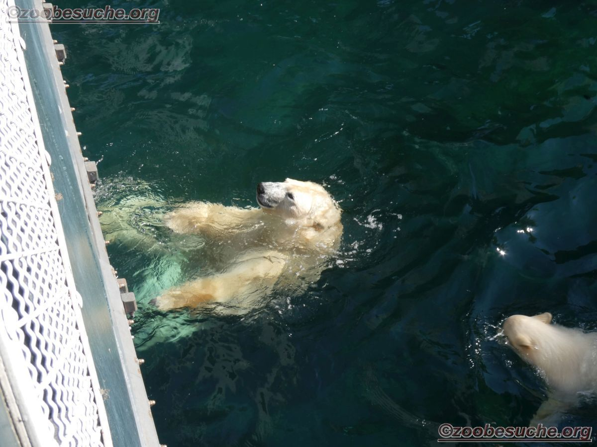 Eisbär  (38)