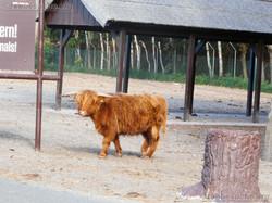 Highland Rinder  (1)