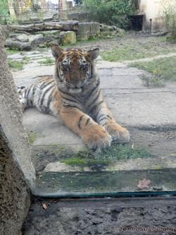 Tiger Jungtier  (1)