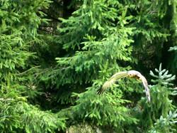 Greifvogel  (6)
