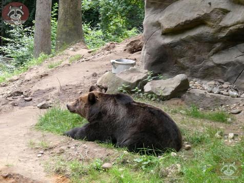 Braunbär (1).jpg