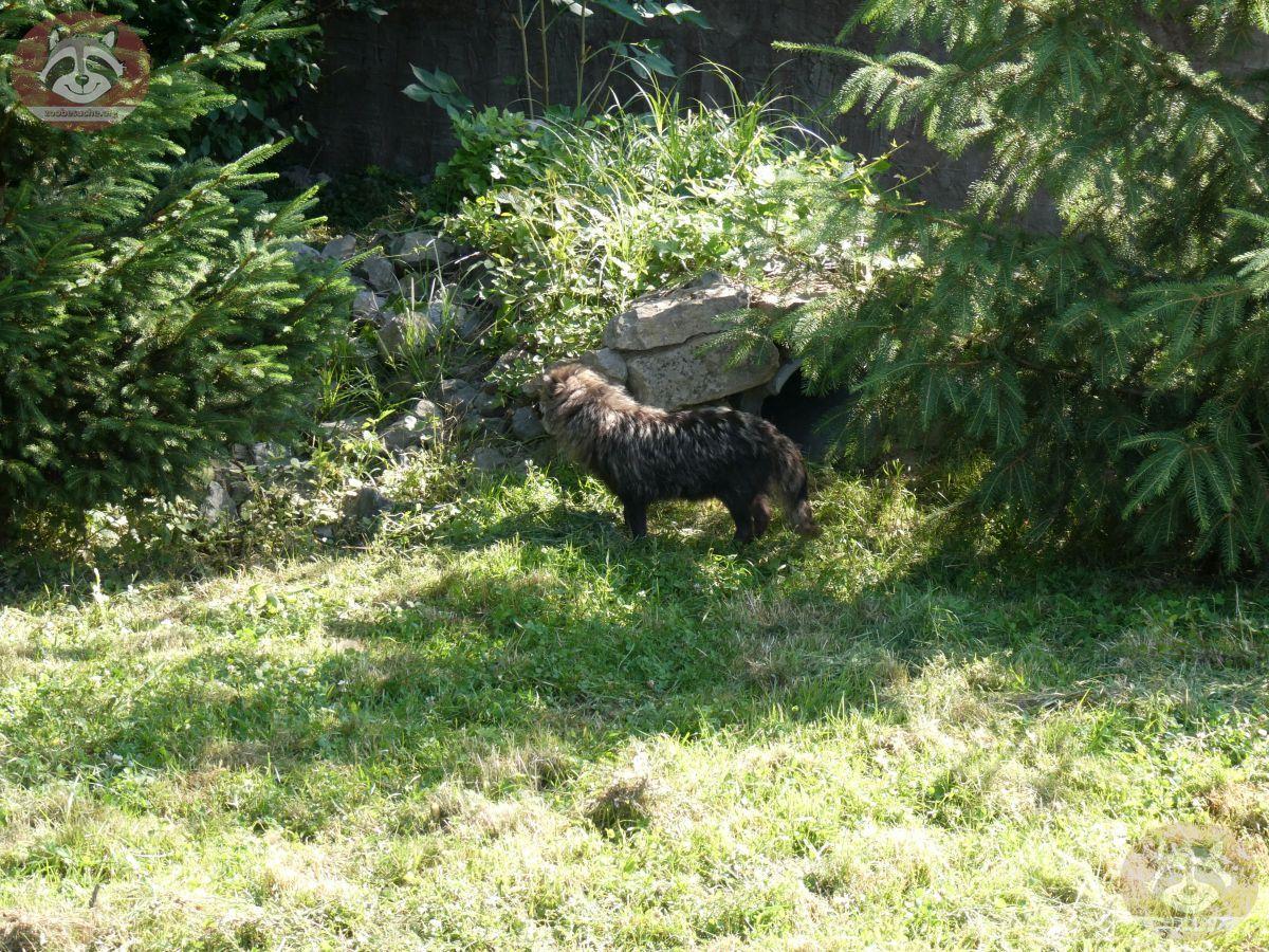 Marderhund (4)