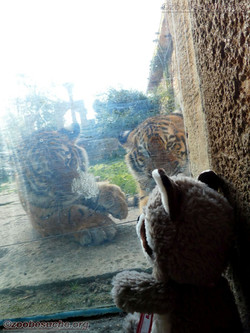 Wuschel mit Tiger Jungtier  (14)