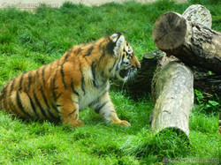 Tigerjungtiere  (7)