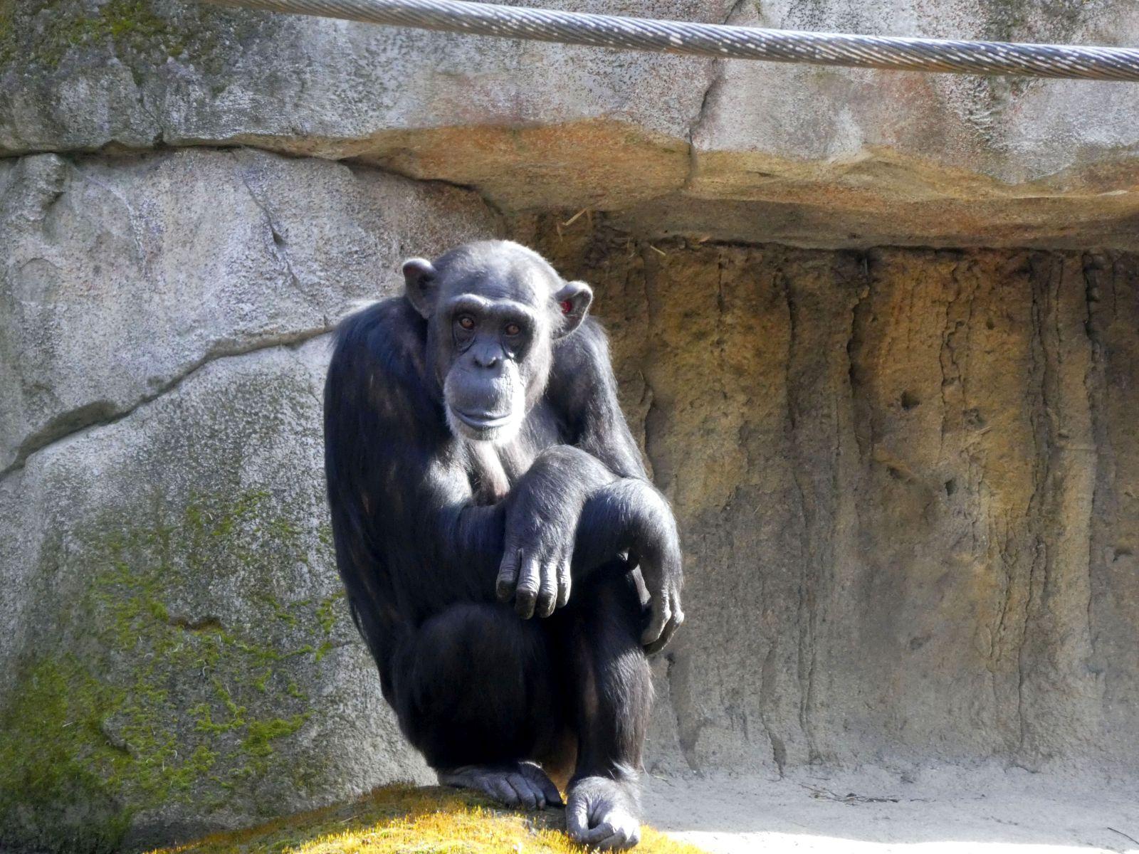 Schimpanse  (2)
