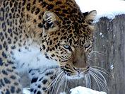 Leopard Julius  (1).jpg