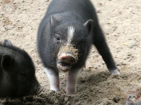 Hängebauchschwein (4).jpg