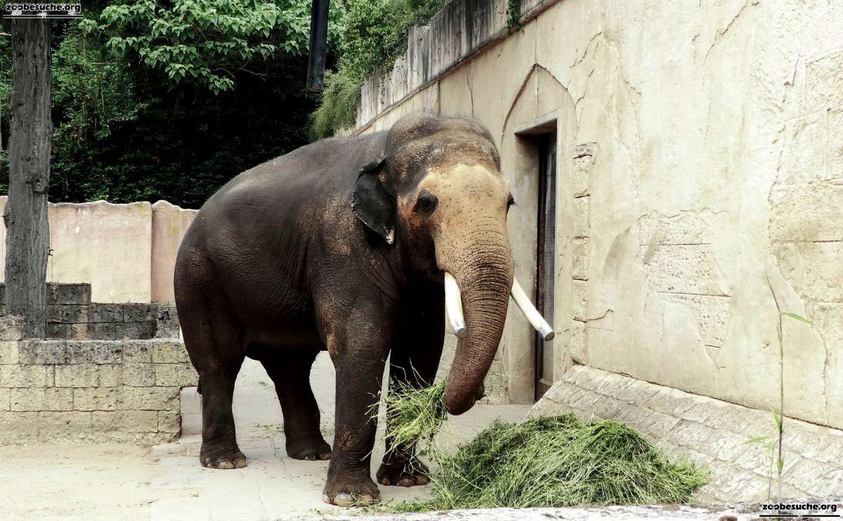Elefantenbulle Nikolai  (2)