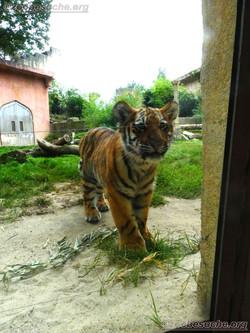 Tiger Jungtier Jaro  (3)