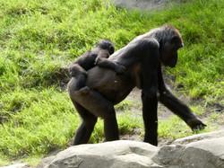 Gorilla  (8)