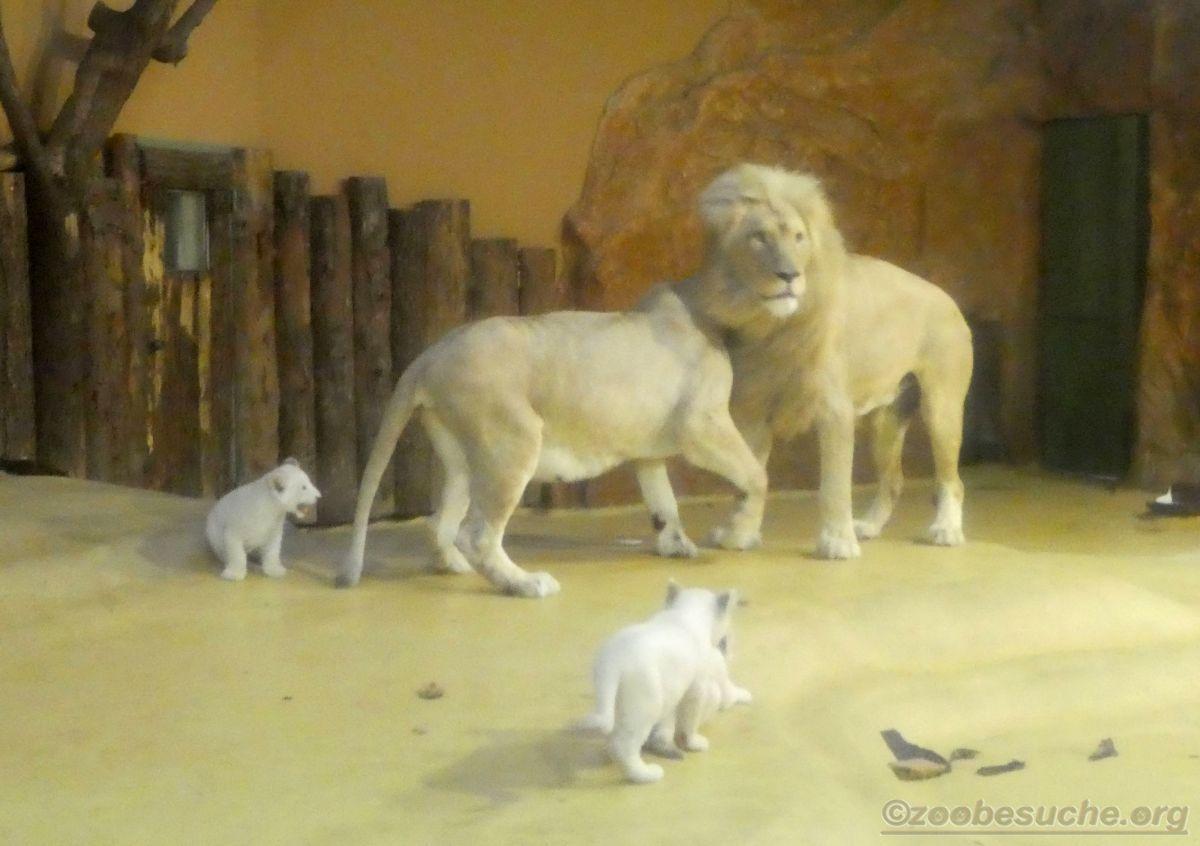 Weiße Löwen Familie  (1)