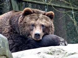 Braunbär  (5)