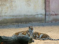 Tigerin Alexa mit Jungtieren (2)