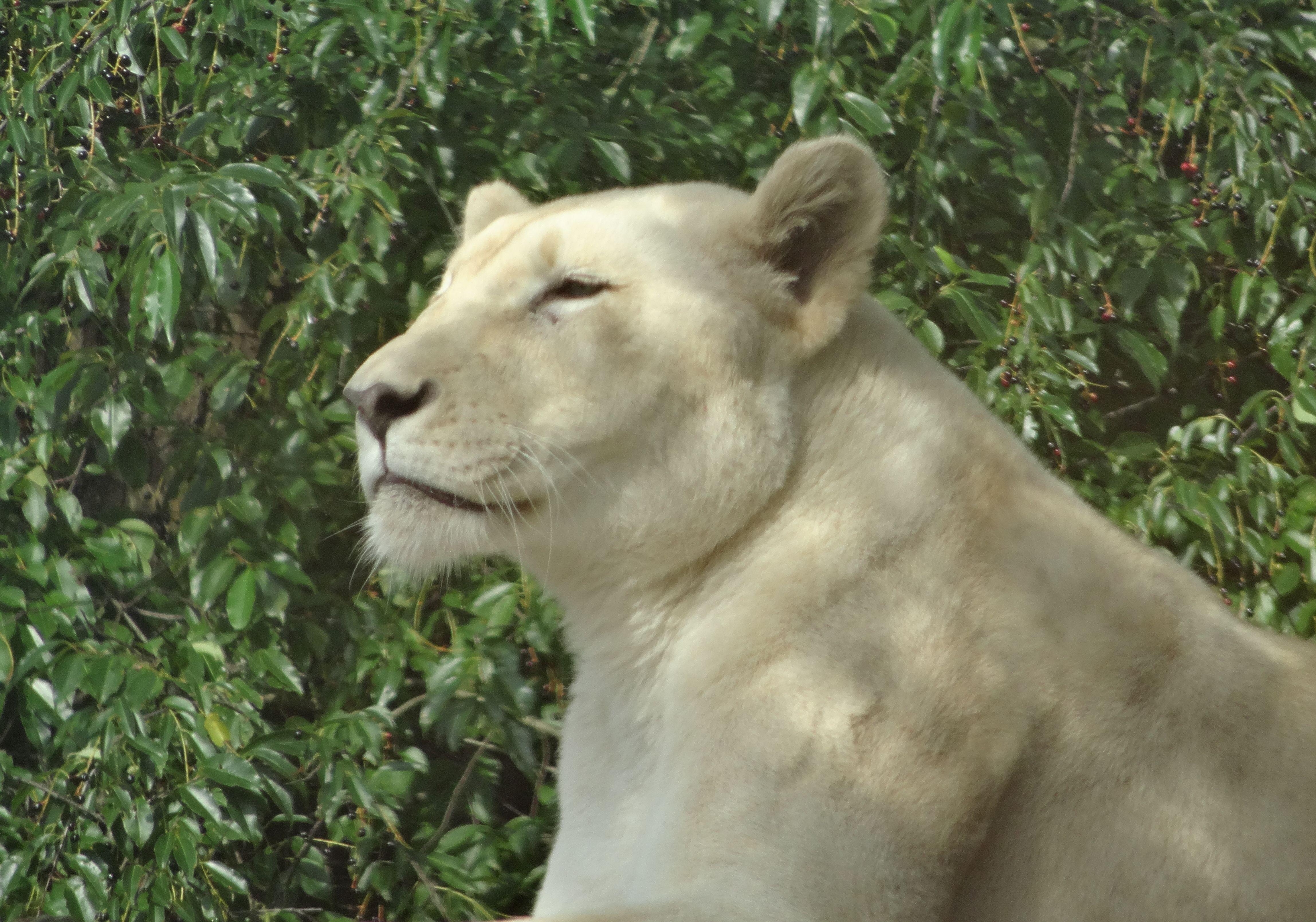 Weiße Löwin