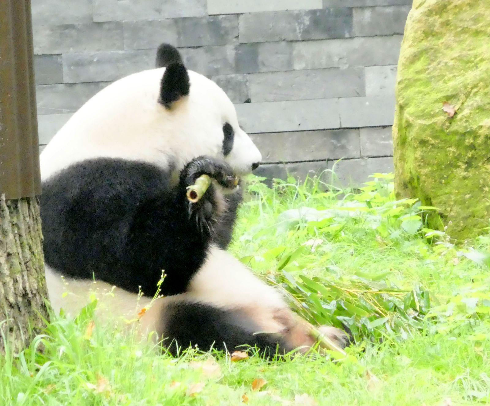 Panda  (27)