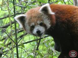 Roter Panda  (19)