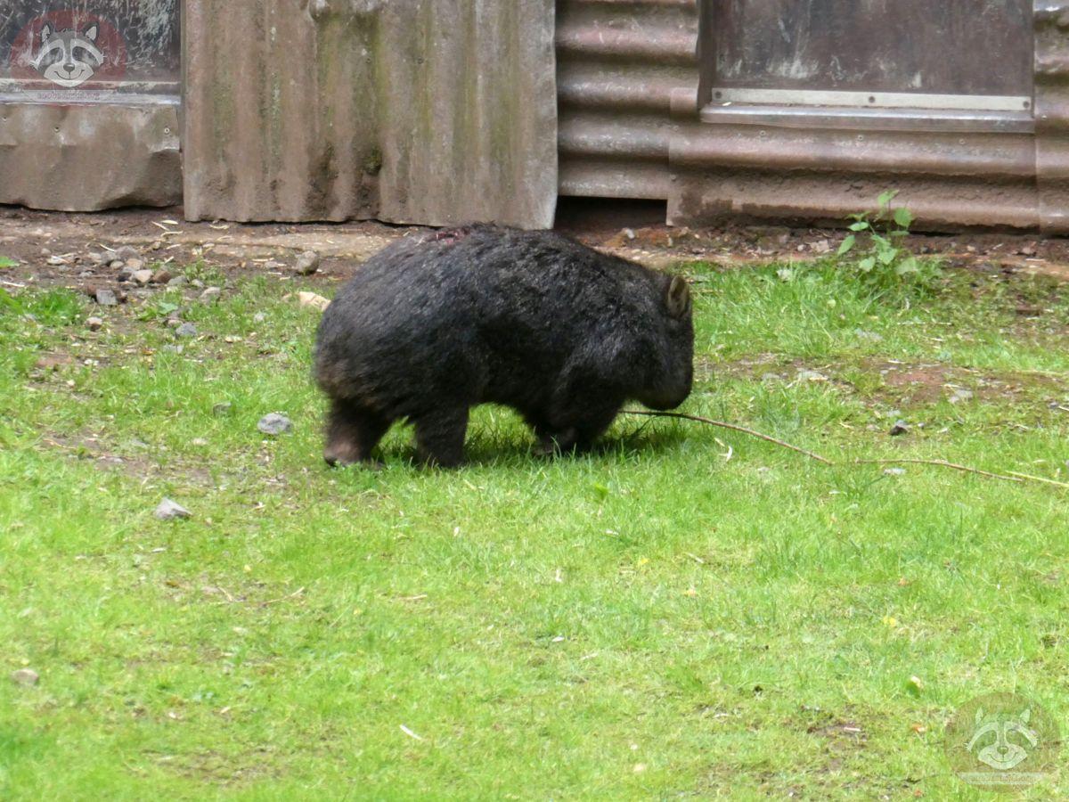 Wombat Maja (2)