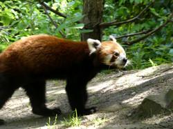 Roter Panda  (4)