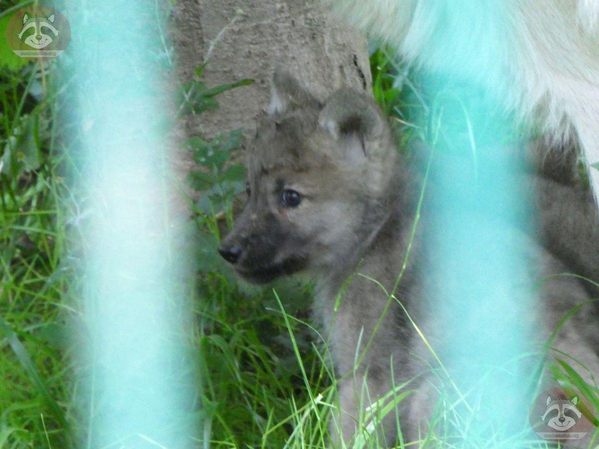 Polarwolf  (14)