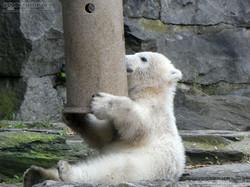 Eisbär  (32)