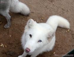 Polarfuchs  (12)