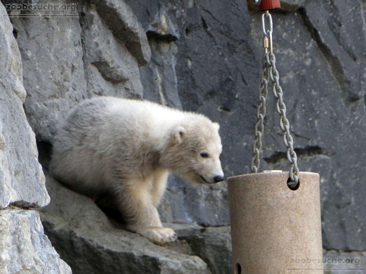 Eisbär  (60)
