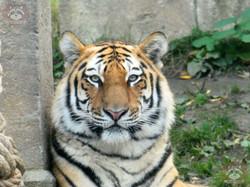 Tiger (24)