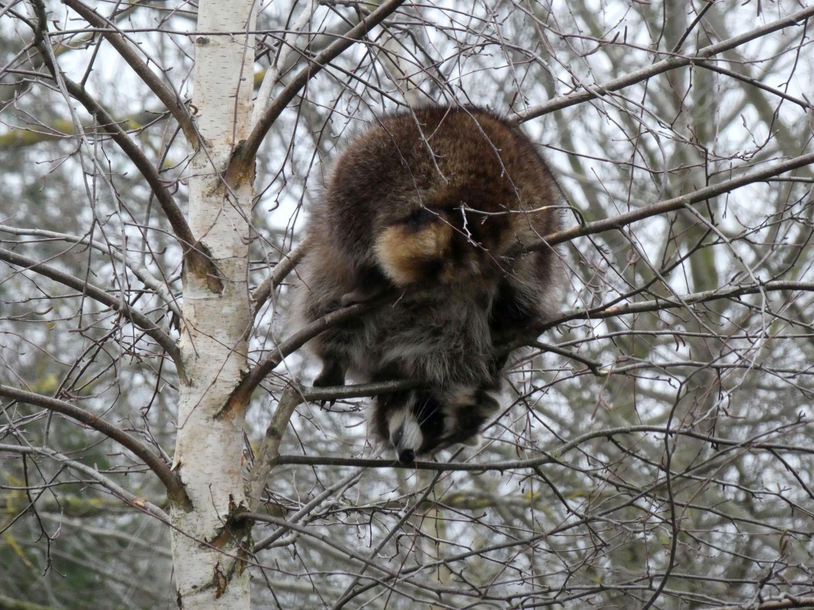Waschbären  (4)