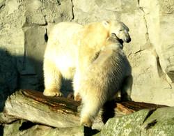 Eisbären  (3)