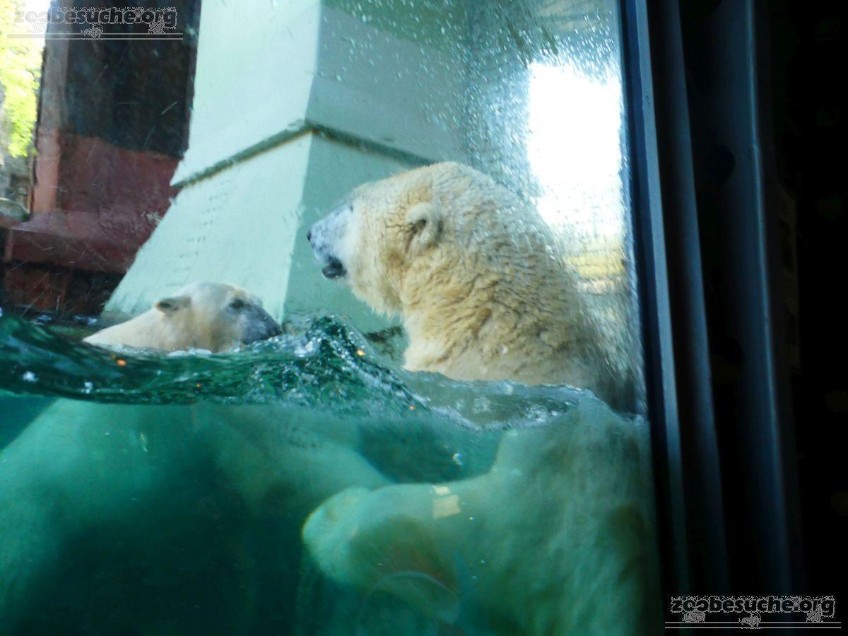 Eisbären_Milana_und_Sprinter__(30)