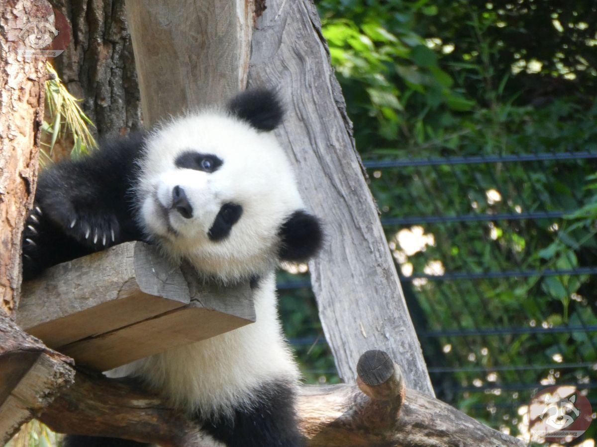 Panda Jungtier  (20)